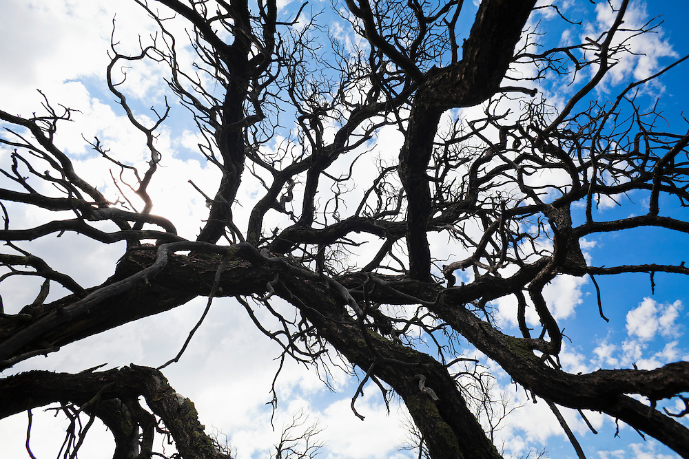 Branches of an old dead tree in the Sandia Mountains, New Mexico, USA.