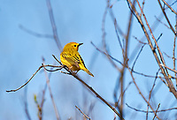 Yellow Warbler (Dendroica petechia) perched in a tree, Annapolis Royal Marsh, French Basin trail, Annapolis Royal, Nova Scotia, Canada,
