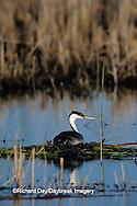 00606-00204 Western Grebe (Aechmophorus occidentalis) on nest, Waubay NWR Mgmt Area  Waubay  SD