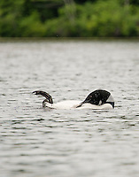 A loon preening on Lake Wicwas Monday afternoon.  (Karen Bobotas/for the Laconia Daily Sun)
