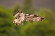 Osprey (Pandion haliaetus) in flight, Cairngorms National Park, Scotland.