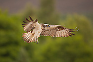 Osprey (Pandion haliaetus) in flight, Cairngorms National Park, Scotland.