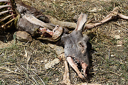 May 6, 2017 - San Pedro Manrique, Soria, Spain - The remains of a deer, that has been scavenged by vultures,  in the village of San Pedro Manrique, Soria's provice, north of Spain, where a high number of cases of scabies is reported. (Credit Image: © Jorge Sanz/Pacific Press via ZUMA Wire)