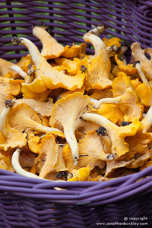 Chanterelle mushrooms in purple basket. Cantharellus
