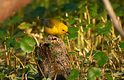 Prothonotary Warbler (Protonotaria citrea), Arthur R Marshall National Wildlife Reserve - Loxahatchee, Florida, USA.    Photo: Peter Llewellyn