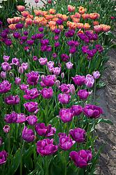 Breeder tulips at Hortus Bulborum, Limmen, Holland. Front to back Tulipa 'La Douceur', T. 'Klopstock' and T. 'Kathleen Truxton'