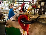 "03 FEBRUARY 2015 - BANGKOK, THAILAND:  A woman ""makes merit"" by placing a plastic garland on a plaster cow's head at Wat Hua Lamphong in Bangkok. After months of relative calm following the May 2014 coup, tensions are increasing in Bangkok. The military backed junta has threatened to crack down on anyone who opposes the government. Relations with the United States have deteriorated after Daniel Russel, the US Assistant Secretary of State for Asian and Pacific Affairs, said that normalization of relations between Thailand and the US would depend on the restoration of a credible democratically elected government in Thailand.        PHOTO BY JACK KURTZ"