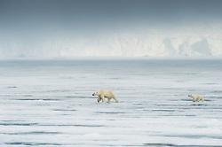 Polar bear (Ursus maritimus) with a cub in front of glacier in Spitsbergen, Svalbard