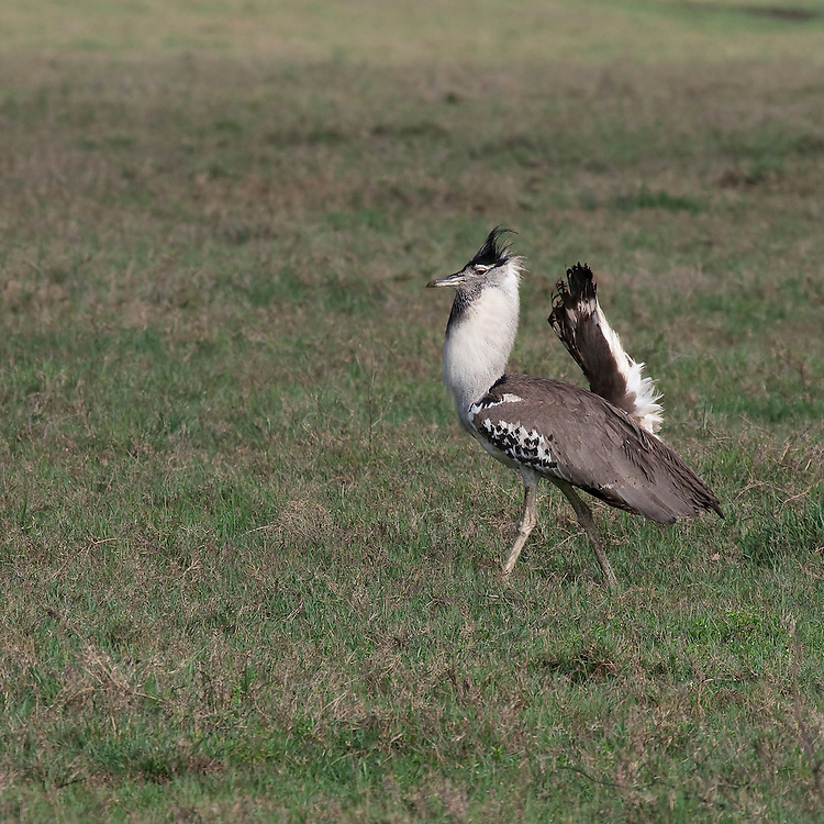 (Ardeotis kori) The Kori Bustard is Africa's heaviest flying bird. This male is inflating his throat ruff and chest, lowering his wings and lifting his tail in a display to his mate nearby. Ngorongoro Conservation Area, Tanzania