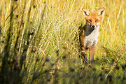 Fox (Vulpes vulpes) at Middlebere on the shores of Poole Harbour. Dorset, UK.