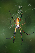 Giant Bananna Spider hanging head heighth in trail at Jekyll Island, summertime.