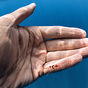 A krill specimen that was spit out by a blue whale I was with. As depicted here, the krill was about the size of my little finger. The blue whale had just come up from deeper water, where it was likely feeding.