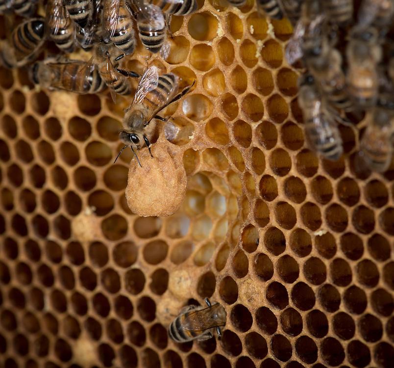 European honey bee (Apis mellifera), queen cells, Captive,  credit: Palo Alto JMZ/M.D. Kern