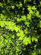 Sunlight pours down through new leaves in Strathcona Provincial Park, on Vancouver Island