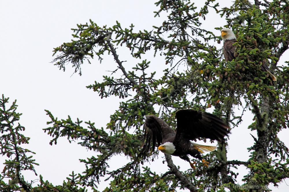 North America, Canada, British Columbia, Vancouver Island. Bald Eagle in flight.