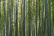bamboo grove with young tree twig in front