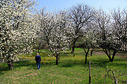 Eastern Europe, Hungary, farmer walks in his blooming fruit tree orchard