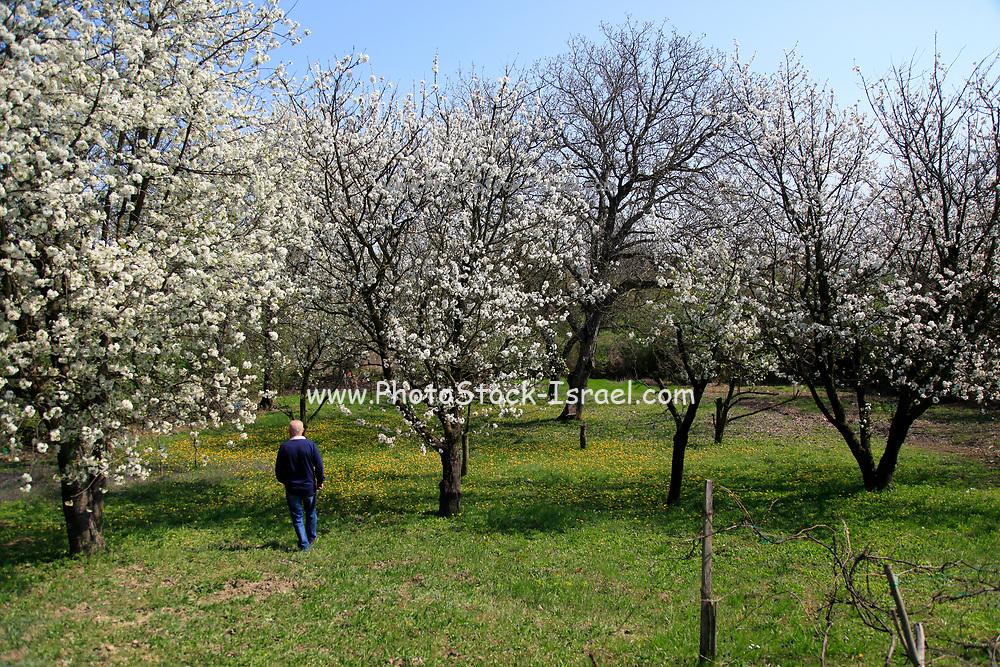 Eastern Europe, Hungary, farmer walks in his blooming fruit tree orchard