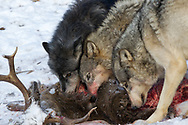 A pack of three gray wolves feed on a  buck deer carcass in wooded winter habitat. Captive pack.