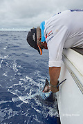 fishing mate Rooster Morehead removes hook from a blue marlin on charter vessel Reel Addiction, tin preparation to release it, Vava'u, Kingdom of Tonga, South Pacific