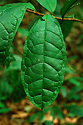 Leaf with strong venation in undergrowth of Tropical Rain Forest, Tai National Park, Ivory Coast, West Africa.