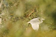 Little egret, Egretta garzetta, Lake Kerkini, Macedonia, Greece