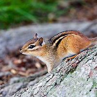 Chipmunk on base of tree trunk looking left