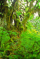 Bigleaf Maple tree (Acer macrophyllum)  covered in moses,  found along the Hall of Moses Trail.  Olympic National Park, Washington.