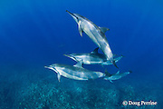 Hawaiian spinner dolphin or Gray's spinner dolphin or long-snouted spinner dolphin, Stenella longirostris longirostris, Kaupulehu, Kona Coast, Big Island, Hawaii ( Central Pacific Ocean )