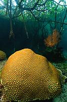 mangrove forest, blue water mangrove, reefs, Misool