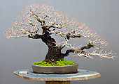 Bonsai Collection Luis Vallejo