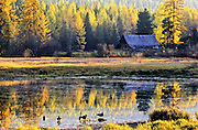 Pond, barn, western larch and Canada geese in autumn. Yaak Valley, northwest Montana.