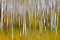 Aspens [Populus tremuloides] in autumn; Dallas Divide, Mt Sneffels Range, CO