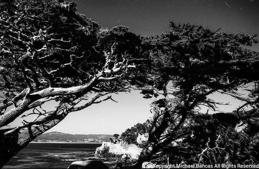 Sun Shining on Cypress Trees in Point Lobos California, a favorite haunt of Edward Weston
