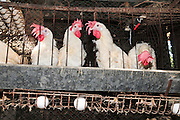 Battery hens in a coop. The practice of battery poultry farming involves rearing chickens intensively in an enclosed space to maximize the profits. The feed can be designed to improve egg quality, and the light cycles can be adjusted to simulate spring and so increase egg laying. It is thought that this has nearly tripled the rate of egg laying, but it has also reduced a hen's life expectancy. Photographed in Israel.