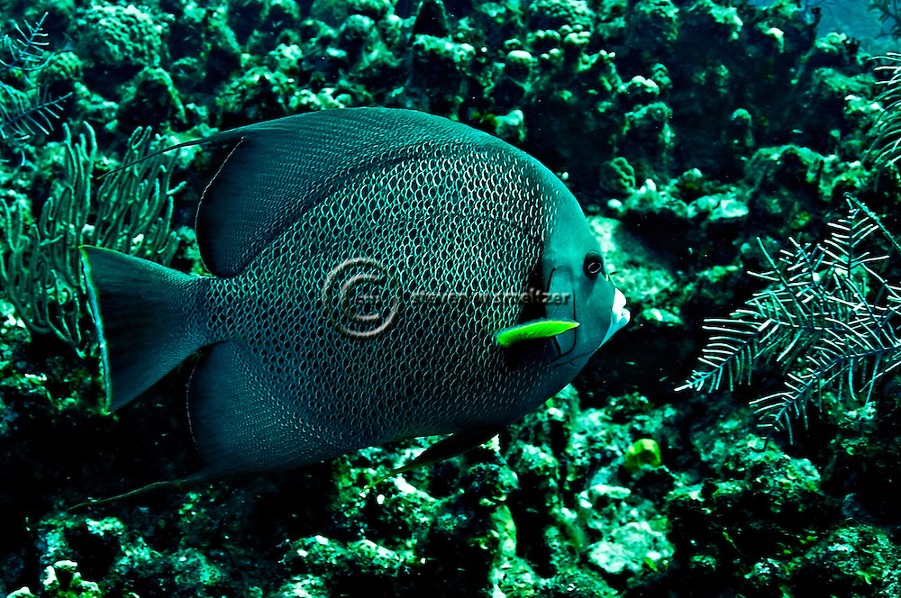 Gray Angelfish, Pomacanthus arcuatus, (Linnaeus, 1758), Grand Cayman