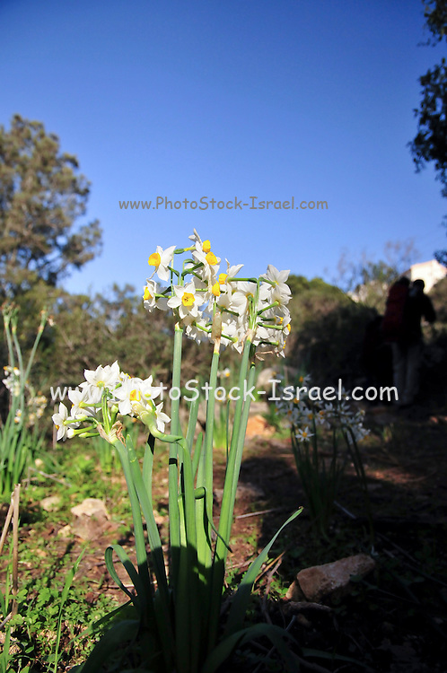 Daffodil (Narcissus tazetta) photographed in Israel, Beit Shean Valley