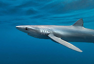 Blue Shark - Prionace glauca. Length to 2m. Large, predatory shark. Feeds mainly on squid and fish. Tagging records indicate most British individuals are immature females that migrate long distances. Adult is blue-grey above and whitish below. Scarce seasonal visitor, mainly to SW.