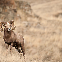 trophy bighorn sheep ram in tall grass rock background wild rocky mountain big horn sheep