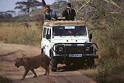 Lion walking past Land Rover