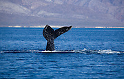 fin whale at the sea of cortez