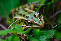 Close up image of a leopard frog trying to hide in plain sight in a field of grasses.<br /> <br /> &copy;2015, Sean Phillips<br /> http://www.RiverwoodPhotography.com