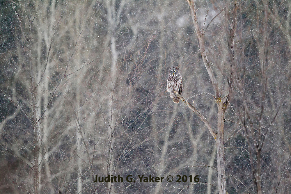 Great Grey Owls in Winter - Ottawa Ontario Canada