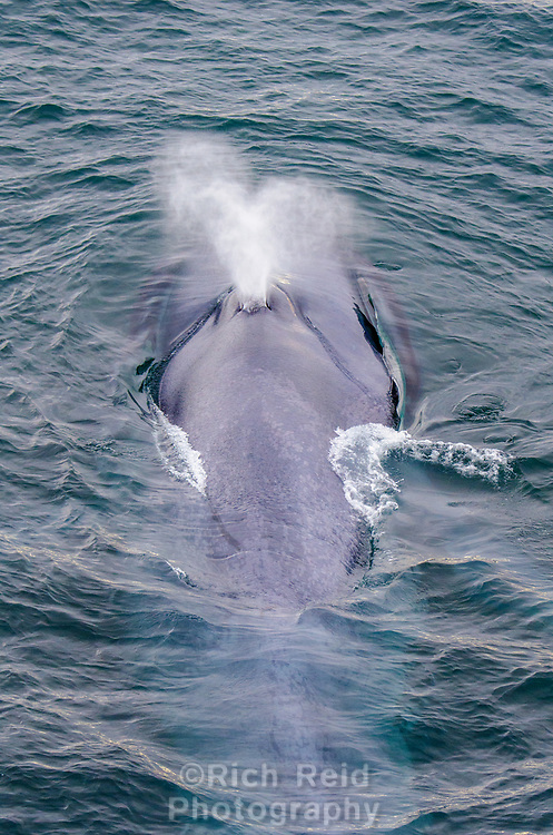 Blue whale spouting from above on the continental shelf off of Spitzbergen in Svalbard, Norway.