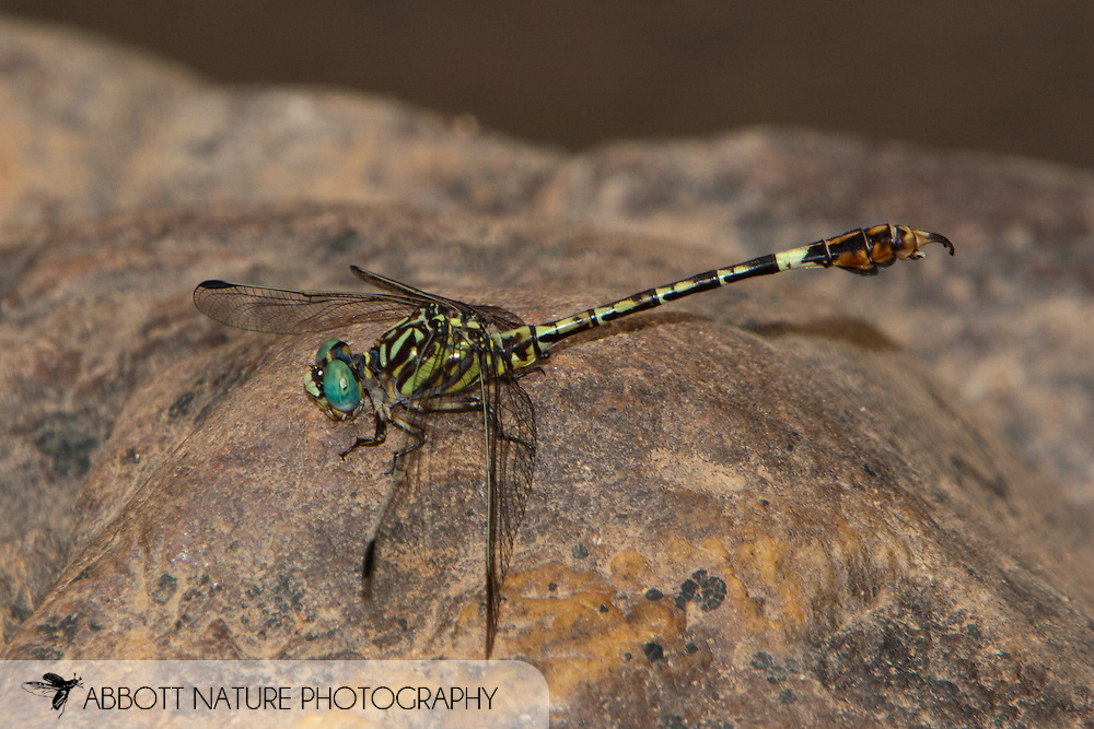 Paragomphus cognatus - male<br /> SOUTH AFRICA: Limpopo Province<br /> Olifantspruit R. @ Buffels Kloof; near Nylstroom<br /> 6-Jan-2006<br /> S24 37.9157  E28 27.6515 1249m<br /> J.C. Abbott #2210