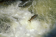 THIS PHOTO IS AVAILABLE FOR WEB DOWNLOAD ONLY. PLEASE CONTACT US FOR A LARGER PHOTO. Idaho. Dagger Falls. Chinook Salmon make their annual trek jumping up falls.  Animals.