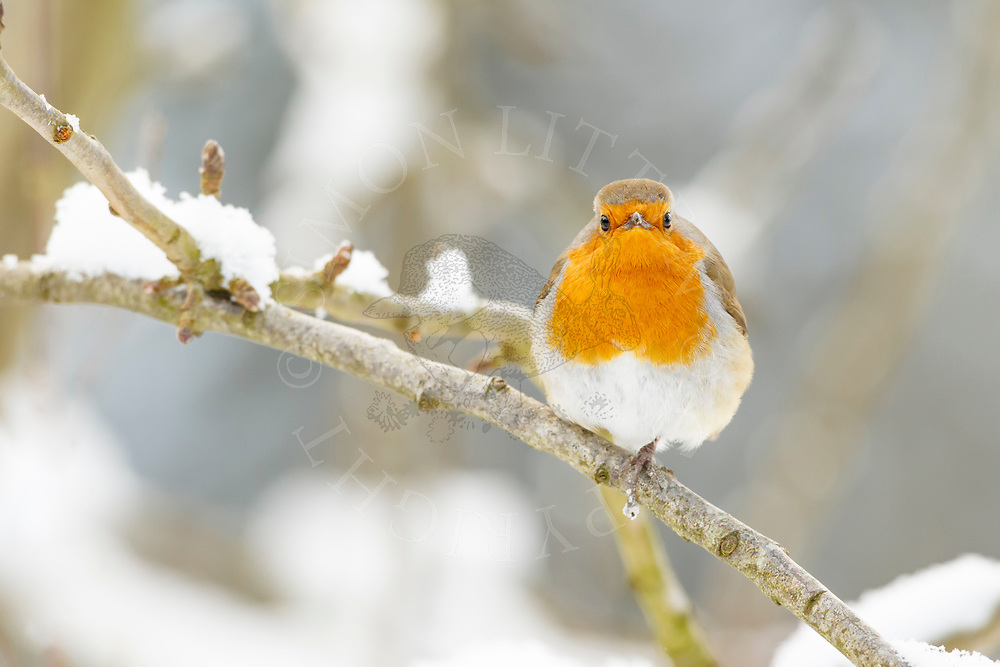 European Robin (Erithacus rubecula) adult, perched in snow covered tree, South Norfolk, UK, March