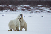 These Polar Bears did a quick jump up as they greeted each other.