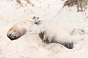 Southern elephant seal (Mirounga leonina) flings loose sand over its body in an attempt to cool itself in the mid morning sun.  Sand also acts as a barrier to sunburn
