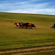 Mongolian horsemen herd their horses on the grassland.
